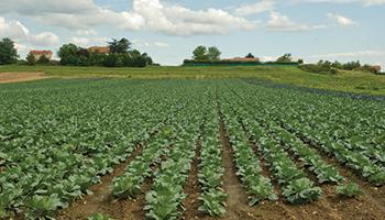 Hauts Villiers - champs de légumes 4ème gammes